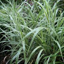 zebra grass ornamental grasses garden plants flowers the