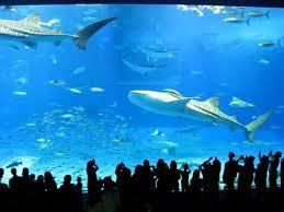 japanese aquarium giant whale sharks and mantas at the okinawa aquarium in japan youtube
