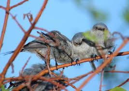 extremely cute and tiny birds juniper titmouse santa fe new