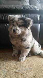 australian shepherd cattle dog mix best 25 australian shepherd mix ideas on pinterest australian