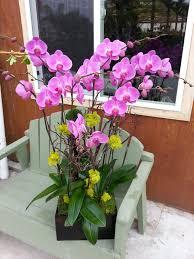 purple orchid flower phalaenopsis purple orchid in encinitas ca orchids