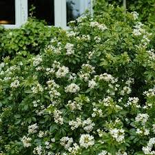 Scented Flowering Shrubs - evergreen scented shrubs at thompson morgan