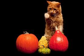 pumpkin iphone background download wallpaper cat pumpkin background hd background
