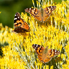 photos painted lady butterfly migration across colorado 9news com