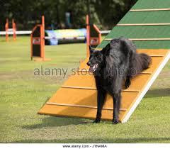 belgian sheepdog agility groenendael stock photos u0026 groenendael stock images alamy