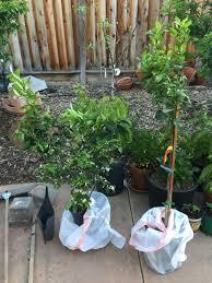gold nugget and tango mandarins general fruit growing growing