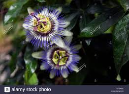native plants passionflower vine grows passion flower south america stock photos u0026 passion flower south