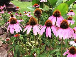echinacea flower growing and caring for purple coneflowers echinacea