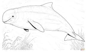 beluga whale coloring page free printable coloring pages