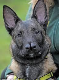german shepherd x australian shepherd who nose where i u0027ll end up german shepherd cross struggles to