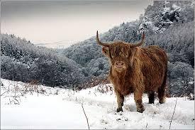 Snow Scotland Highland Cow In Snow Buy Prints Of Scotland