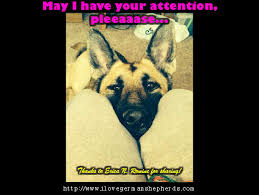 Seeking German Stopping Attention Seeking Habits Of Your German Shepherd