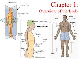 Human Anatomy Planes Of The Body Chapter 1 Overview Of The Body Ppt Video Online Download