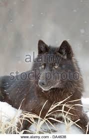 belgian shepherd timberwolf a black morph north american gray or timber wolf canis lupus