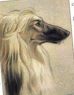 afghan hound fabric afghan hound dog color pencil drawing giclee by petartportraits
