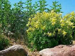 columbine plant a of denver gold columbine plant select