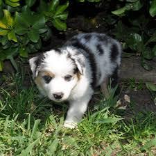 australian shepherd 10 weeks cheyenne star miniature and toy australian shepherds home facebook