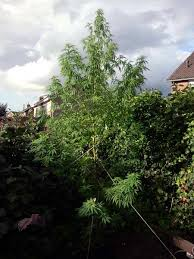 how much light do pot plants need do my cannabis plants need side lighting grow weed easy