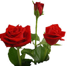 buy roses sweetheart roses at wholesale