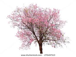 cherry trees stock images royalty free images vectors