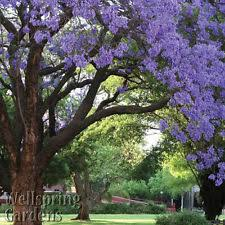 tree with purple flowers flowering trees ebay