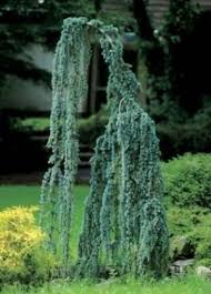 70 best weeping evergreen trees images on evergreen