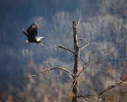 Arkansas wildlife images Photographing bald eagles in nw arkansas arkansas wildlife jpg