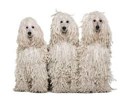 haircutsfordogs poodlemix 261 best poodle pictures images on pinterest poodles french