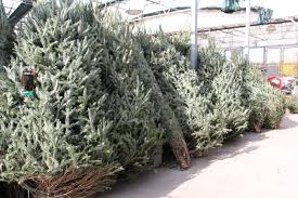 caes newswire christmas trees