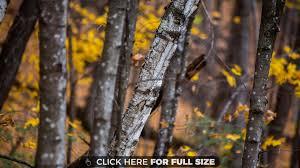 autumn birch tree 4k wallpaper