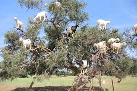 look at these silly billies as goats climb a tree in search of