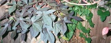 ornamental sweet potato sweet potato vine ipomoea batatas blackie