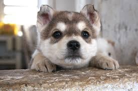 17886 husky puppy hd widescreen wallpaper walops com