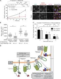 tubby family proteins are adapters for ciliary trafficking of