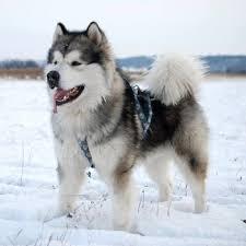 belgian shepherd x alaskan malamute alaskan malamute breed information characteristics u0026 heath