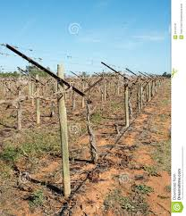 row of shaw swing arm trellis in vineyard stock image image