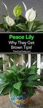 best houseplants for bedrooms peace lily bright lights and peace