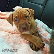 l american pitbull terrier a p b t billy the kid 45 days americanpitbullterrier pitbull apbt