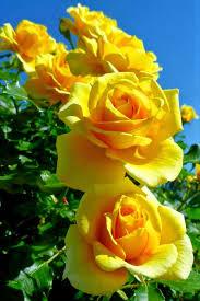 the yellow rose of texas u2026 pinteres u2026