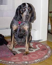 bluetick coonhound weight southeast bloodhound rescue
