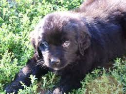 puppies indiana newfoundland puppies in indiana