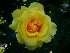 yellow roses with tips nature flower yellow garden doğa çiçek sarı gül bahçe