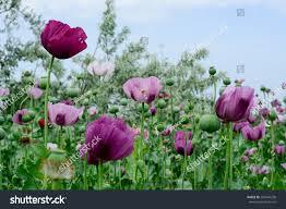 poppy flower variety colors very beautiful stock photo 281644298