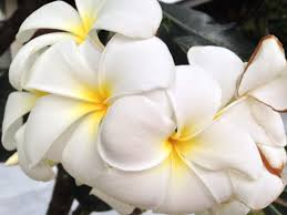 Fragrant Tropical Plants - free images blossom white flower petal floral tropical