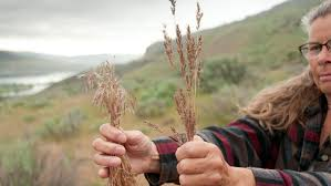 how to plant native grasses attacking invasive cheatgrass at its root u2013 cool green science