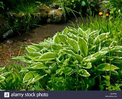 shade loving native plants leaves of hosta plant agavoideae an herbaceous perennial plant