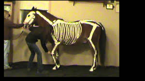 horse skeleton halloween horse skeletal system youtube