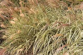 ornamental grass miscanthus sinensis silver grass grow