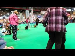 affenpinscher crufts 2016 poodle toy video funnydog tv