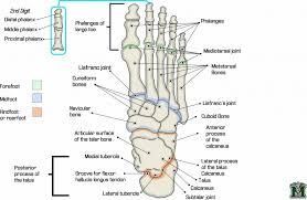 Skeletal Picture Of Foot Left Foot Bones Diagram Lateral Foot Bone Diagram